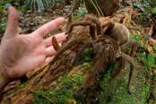 Description: http://naskrecki.smugmug.com/Goliath-birdeater/i-k4gk5Kp/0/M/Suriname_4562_444_B-M.jpg