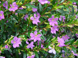 cuphea-plante