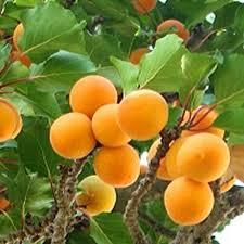 appelkose
