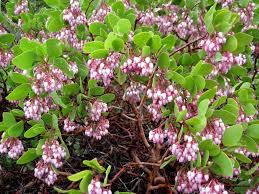 manzanita-bush